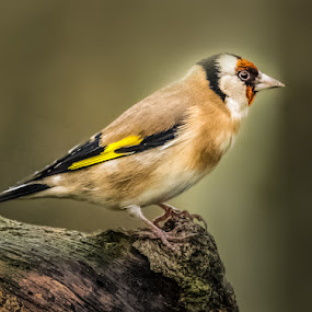 Gold Finch by Jim Keating - Animals Birds ( bird, finch, woodland, gold, garden,  )