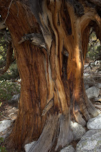 Photo: Cedar