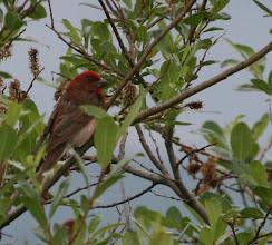 Photo: Punavarpuset pyrähtelivät pensaikossa