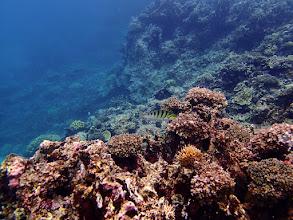 Photo: Thalassoma hardwicke (Six-bar Wrasse), Small Lagoon, Miniloc Island, Palawan, Philippines.