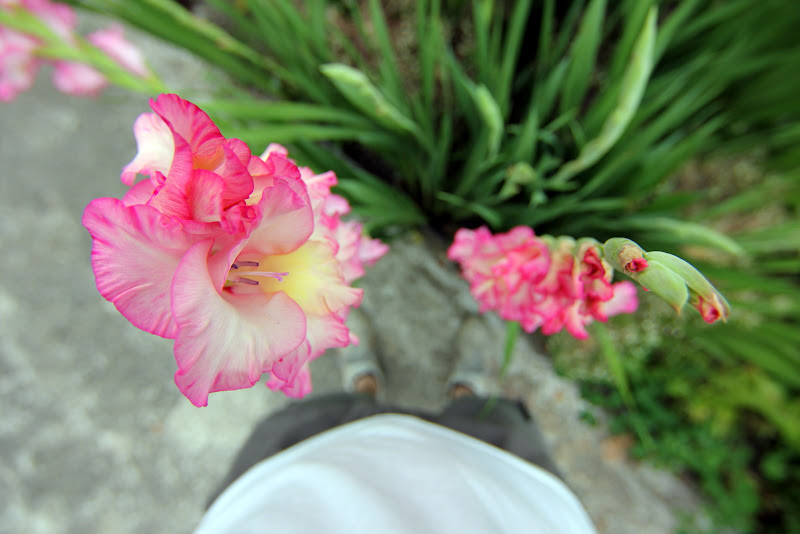 From the top of the gladiolus di cberetta