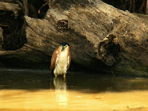 Photo: AUSTRALIE-Martin-pêcheur dans Yellow Waters Billagong de Kakadu National Park