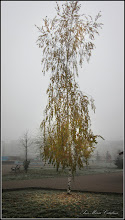 Photo: Mesteacăn (Betula) - din Parcul Teilor - 2016.11.24
