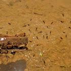 Gray Treefrog Tadpoles