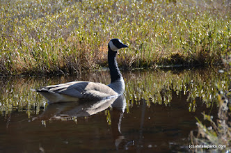 Photo: Goose visits Lowell Lake State Park by Linda Carlsen-Sperry