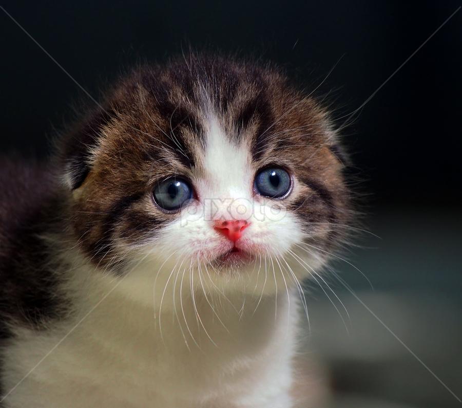Scottish Fold by Cacang Effendi - Animals - Cats Portraits ( cats, cattery, kitten, chandra, animal, pwc84 )
