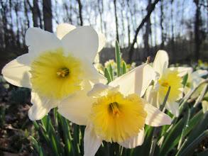 Photo: 3 white and yellow daffodils in spring sunlight at Wegerzyn Gardens MetroPark in Dayton, Ohio.