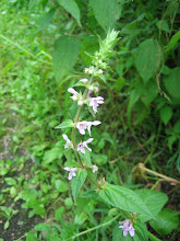 Photo: Rough Hedge-nettle, 7.21