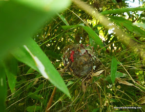 Photo: Mexican Woodnymph (endemic hummingbird in W. Mexico) nest, Vallarta Botanical Gardens