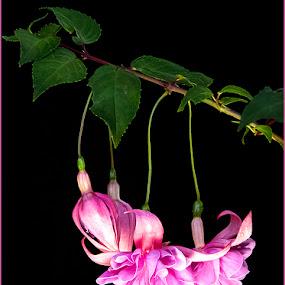 Pienk Fuchia by Elna Geringer - Flowers Flower Gardens (  )