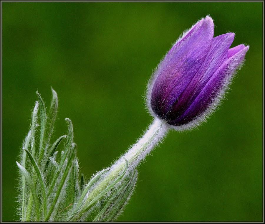Purple by Jos Meubis - Flowers Single Flower (  )