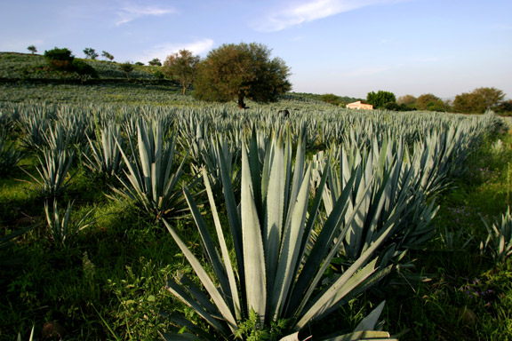 Blue Weber agave on the Patron estate