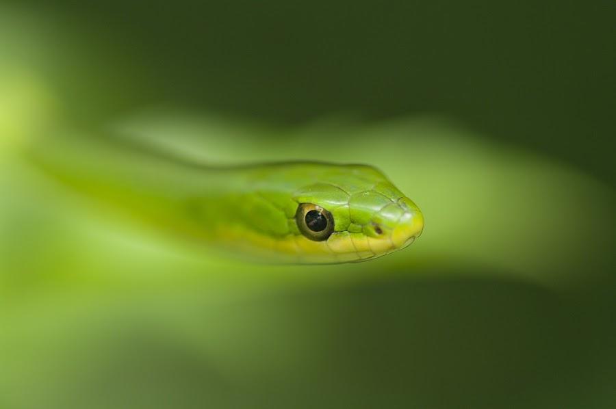 Rough Green Snake 8922 by Jack Glisson - Animals Reptiles ( snake, ophedrys aestivus, rough green snake, reptile, colubrid )