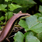 LongTail Mabuya / Long-Tailed Sun Skink