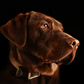 Browney Redding - Noble Stoic by Doug Redding - Animals - Dogs Portraits ( animal portrait, douglas redding, chocolate labrador, dog, labrador, portrait )