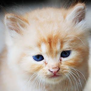 kucing-anggora-2.jpg