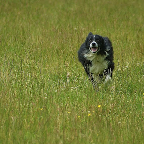 Collie on the chase by Morag Soszka - Animals - Dogs Running ( sheepdog, dog running, sheep dog trail, collie dogs )