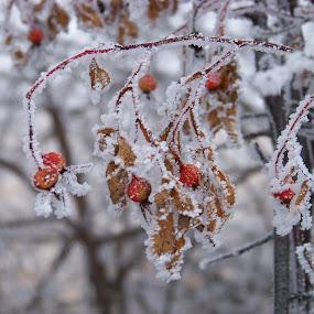 Winter Frost by Carol Keskitalo - Novices Only Flowers & Plants ( winter, plants, frost, flowers )