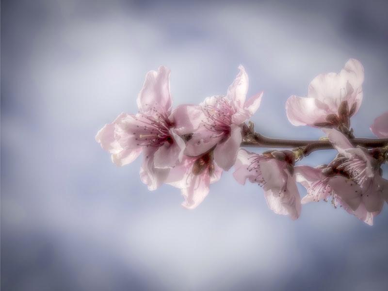 Pink Pesco's flower di Francesco Masi