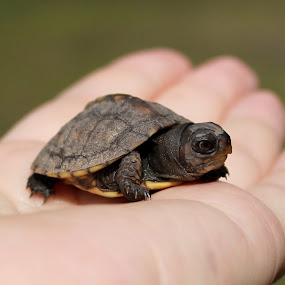 Yellow Bellied Slider Baby by Sona Decker - Animals Reptiles (  )