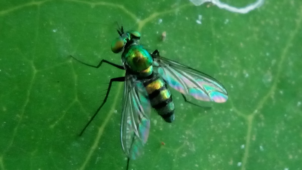 Asian Long-Legged Fly