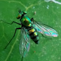 Asian Long-Legged Fly