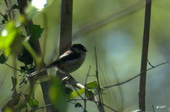 Photo: Ополовник, Long-tailed Tit, (Aegithalos caudatus), Миссолонги, ясеневый лес