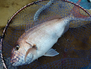 Photo: 3kgぐらいの真鯛!