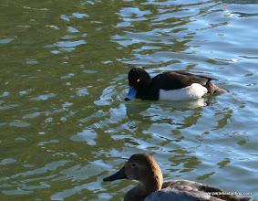 Photo: Tufted Duck, a rare but regular visitor to Lake Merritt.