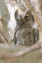 Photo: European Scops-Owl