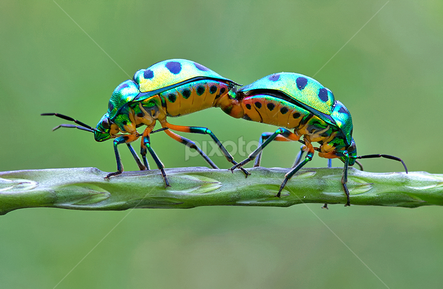 JEWEL BUGS by Subramanniyan Mani - Animals Insects & Spiders