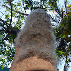 Moringa hairy caterpillar / முருங்கமர கம்பளி பூச்சி