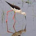 Cigüeñuela común (Black-winged stilt)