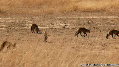 Photo: Kgalagadi NP - Pes ušaty / Bat-eared fox