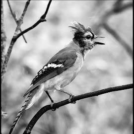 Bluejay by Dave Lipchen - Black & White Animals ( bluejay )