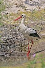 Photo: White Stork