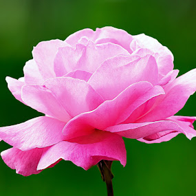by Ranjani Bharath - Nature Up Close Flowers - 2011-2013 ( rose, green, art, pink, flower )