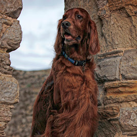 The King of the castle by Ken Jarvis - Animals - Dogs Portraits ( irish setter, dog portrait, castle, irish, cute dog )