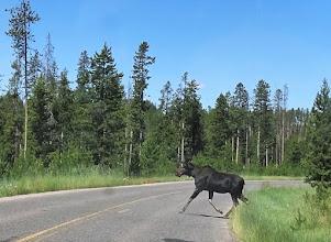 Photo: Bull Moose sighting