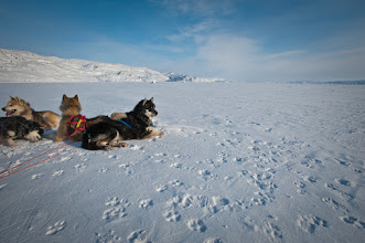 Photo: Dogs relaxing on the Icefjord after a morning run.