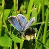 Eastern blue-tailed butterfly