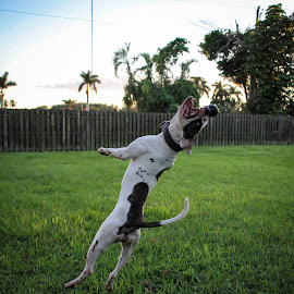 Air Time by Steven Perez - Animals - Dogs Playing ( dogs playing, dogs, dog playing, dog, dog park, dog portrait,  )