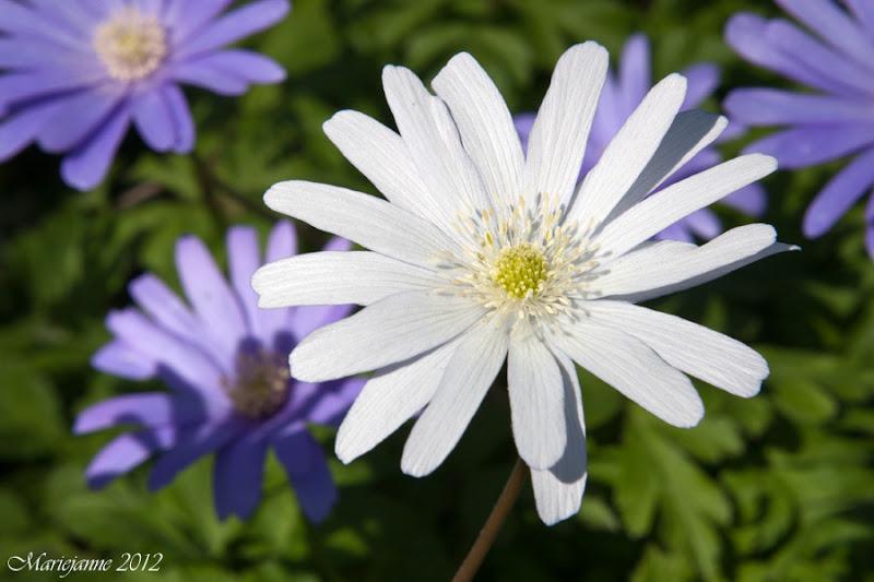 Photo: Anemone apennina alba (wit) Anemone apennina (blauw)