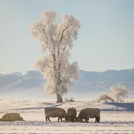Frozen Cows by Chad Roberts - Animals Other Mammals ( cows, frost, snow, frozen, winter, eat, cold )