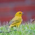 Bird Singing: Canary icon