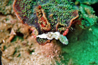 Photo: #017-Nudibranche Chromodoris