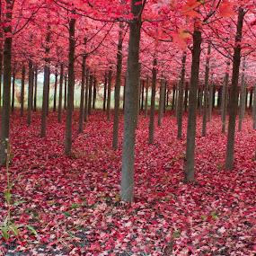 Red Forest by Samer Shaur - Landscapes Forests