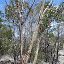 Wallangarra White Gum