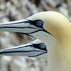 Gannets by Pat Somers - Animals Birds (  )