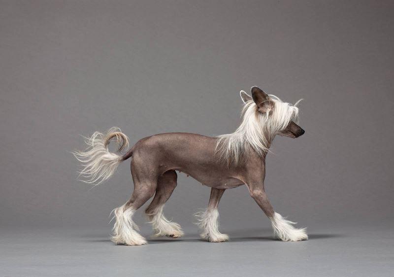 Стрижка китайской хохлатой собаки — Зоосалон КОТ В САПОГАХ +7-495-204-37-19